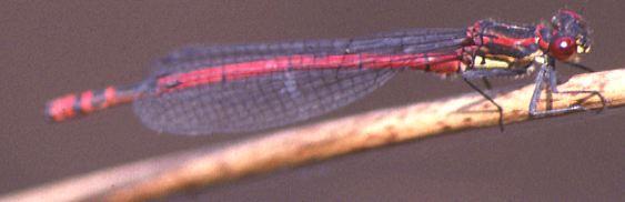 Pyrrhosoma nymphula.jpg