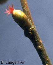 Le Noisetier Corylus Avellana