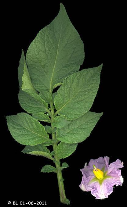 Pomme de terre solanum tuberosum - Feuille pomme de terre ...